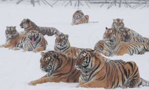 Tigers at the Siberian tiger zoo in Hailin, Heilongjiang province in northeast China. The facility, the world's largest Siberian tigers breeding center, is home to over 1,000 Siberian tigers, among the world's most endangered species