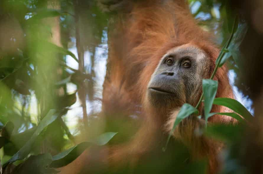 Pongo tapanuliensis, found on the Indonesian island of Sumatra.