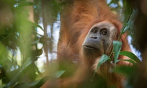 A newly-discovered species of orangutan, the Pongo tapanuliensis, is only found in the forest where the dam will be built.