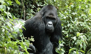 An eastern gorilla