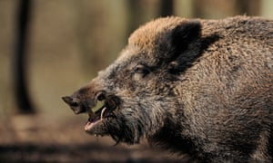 About 500,000 wild boars are killed each year in Germany.