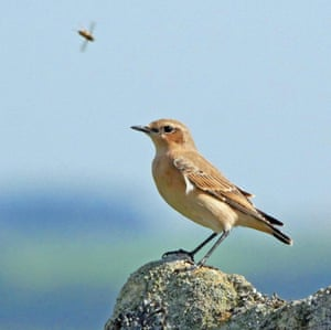 Juvenile wheatears visit heather moorland in early autumn to feed on the abundant insects