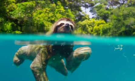 Looking for love … a pygmy three-toed sloth on the tiny island of Escudo de Veraguas.