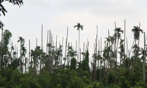 Dead palm trees poke out of the remains of a burnt Rohingya village north of Maungdaw town.