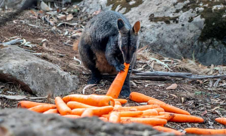 A wallaby eats a carrot air-dropped in bushfire-stricken areas around Wollemi and Yengo national parks by the NSW National Parks and Wildlife Service