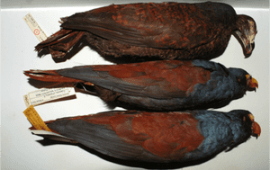 Three manumea or little dodo specimens in a museum. Note the vibrant colours.