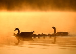 A pair of Canada geese and their goslings make their way across Overton Lake just after sunrise at Nene Park, Peterborough, UK