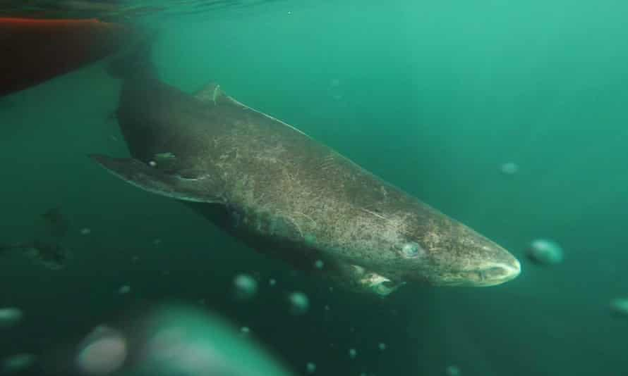 A Greenland shark returning to the deep and cold waters of the Uummannaq Fjord in northwestern Greenland. The sharks were part of a tag-and- release program in Norway and Greenland.