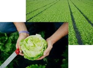 a lettuce cut in half in the field, held by the farmer