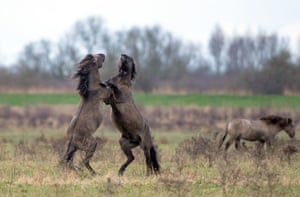 Konik ponies fight for dominance as the foaling season begins at the National Trust's Wicken Fen Nature Reserve in Cambridgeshire