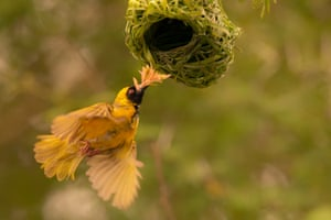 A weaver bird builds its nest in Johannesburg, South Africa