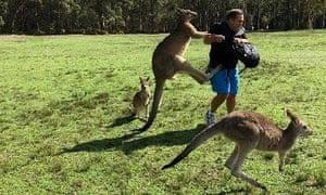 A kangaroo kicking a man