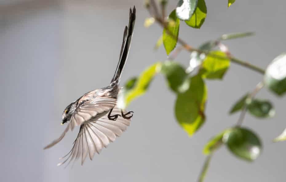 An adult flies off after feeding its chicks