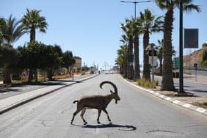 A Nubian ibex crosses a road
