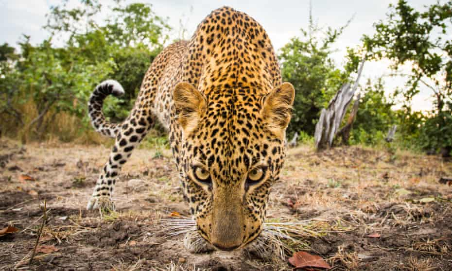 Leopard on the loose … Gin Phillips explores a fierce kingdom.