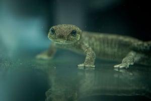 A critically endangered Catalan newt