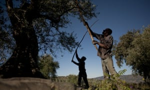 Employees shake olive trees during the olive-picking season in Ronda, Andalusia.