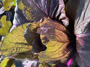 Red savoy cabbage growing in Palisa Anderson's farm.