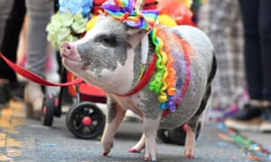 Lilou the pig trots along during the celebration