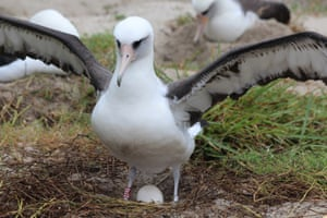 Wisdom, a Laysan albatross and the world's oldest known wild bird, incubates her egg on the Midway Atoll national wildlife refuge in the north Pacific Ocean.