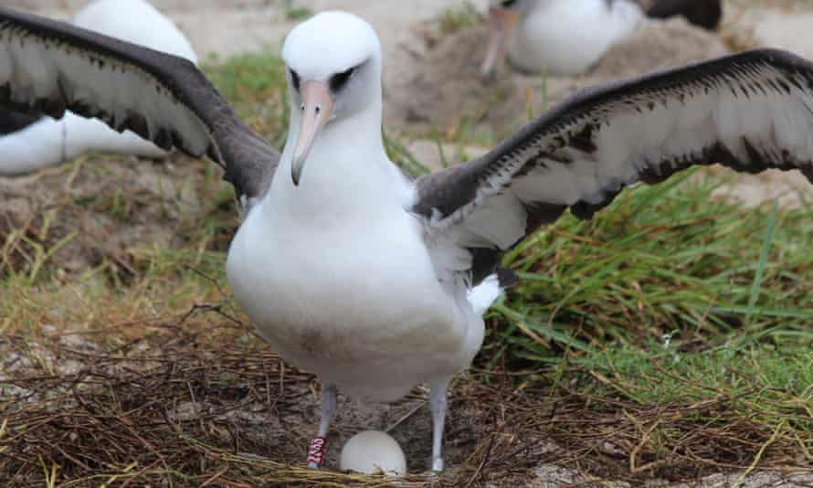 Wisdom incubating a previous egg. The Laysan albatross is thought to have hatched more than 35 chicks in her life.