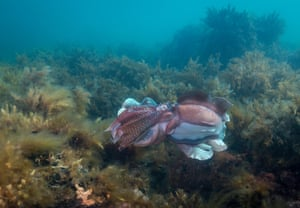 Australian giant cuttlefish mating during the annual mating and migration season, in Point Lowly, South Australia
