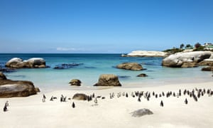 Penguins on Boulders Beach, Cape Town, Cape Peninsula, Western Cape, South Africa