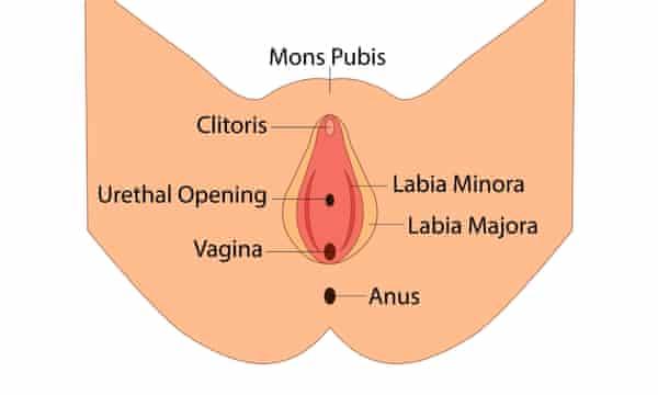 Vulva anatomy diagram