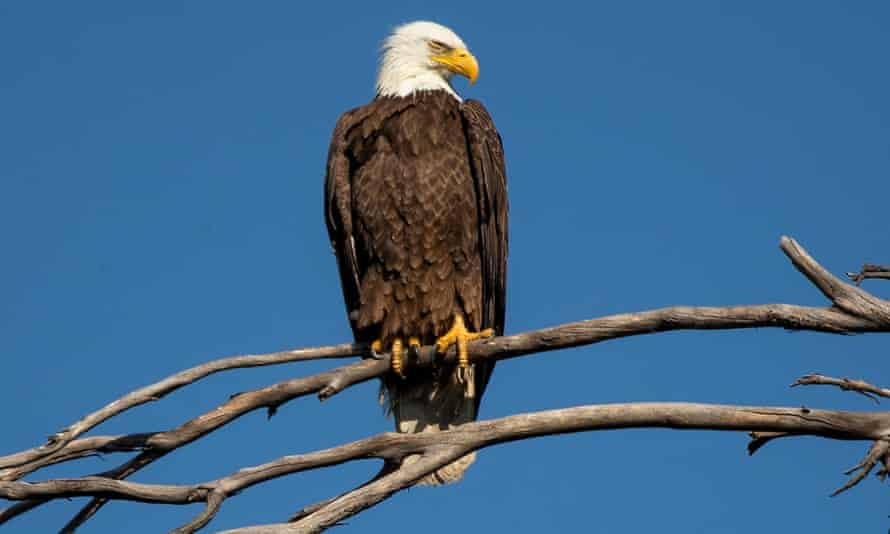 A bald eagle. 'The attack could have been a territorial squabble with the electronic foe, or just a hungry eagle.'
