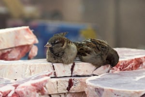 Sparrows sit on frozen meat on sale at the market