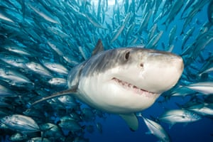 A great white shark at Isla Guadalupe, Mexico. The White Shark Café is a pristine open ocean region approximately halfway between the North American mainland and Hawaii, which is the site for the only known offshore aggregation of north Pacific white sharks.