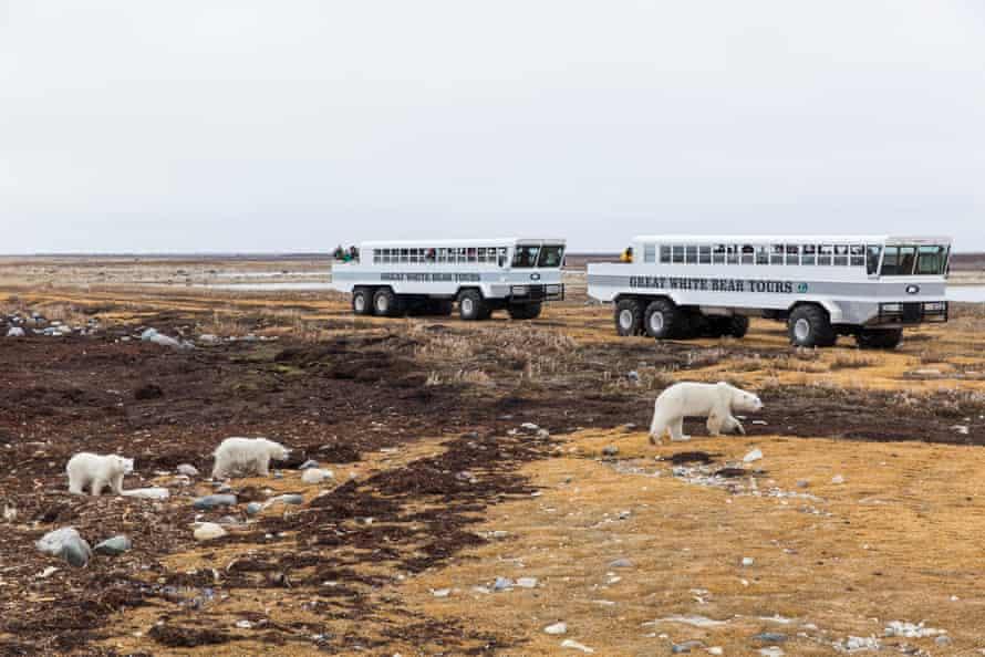 Tour groups view polar bears along the Hudson Bay on a cloudy autumn morning.