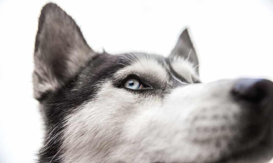 Black and white Siberian Husky. Like most mammals, dogs are colour blind.