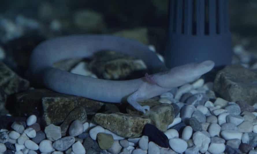 An olm walks in an aquarium in Postojna Cave.