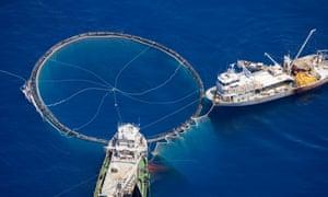 A feel uses huge purse seine nets to fish for bluefin tuna