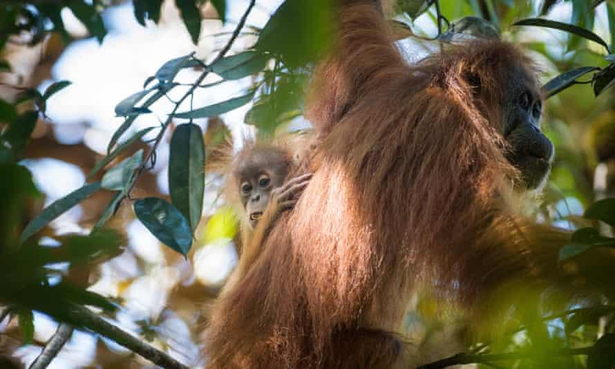 The Tapanuli orangutans having more cinnamon-coloured hair than Bornean orangutans, with a far frizzier texture than that of Sumatran orangutans.