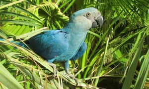 Spix's macaw (Cyanopsitta spixii) one of the first eight birds identified as becoming extinct in the 21st century