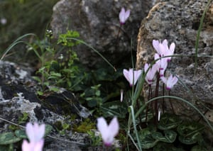 Cyclamens in bloom at the rock in the Akamas peninsula in Paphos, Cyprus