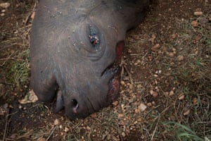 A mutilated corpse of a pregnant poached black rhino in the Lewa wildlife conservancy in northern Kenya