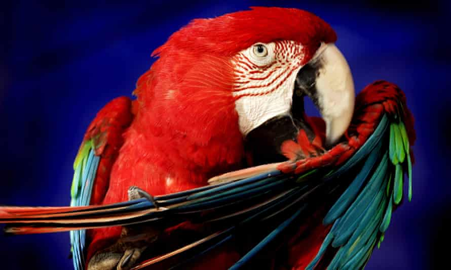 The tiny but densely-packed neurons in the brains of birds such as this macaw, are thought to endow birds with cognitive abilities that far outstrip expectations.