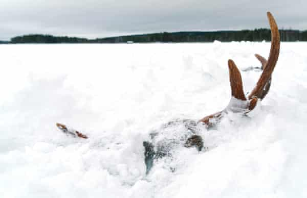 Moose antlers emerge from a frozen lake in North Karelia, Finland