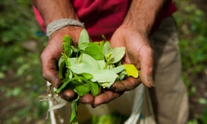A farmer harvests coca leaves in a plantation in the mountains of the department of Cauca, Colombia. Some growers hope that medicinal or scientific uses can be found for the crop instead of cocaine.