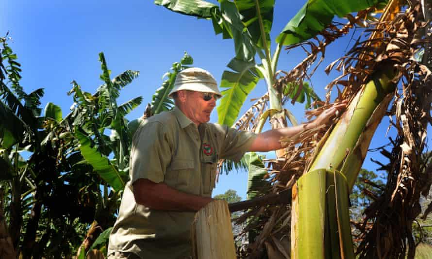 Researcher David Peasley prunes banana plants struck by Panama disease.