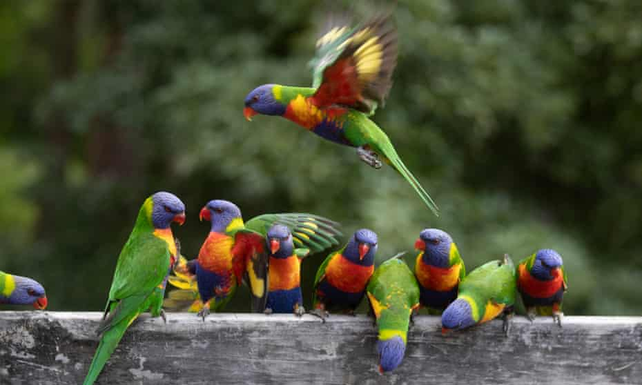 Rainbow lorikeets in Bawley Point, New South Wales. Nominate your favourite species for the 2021 Australian bird of the year poll.