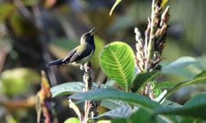 Príncipe sunbird at Bom Bom