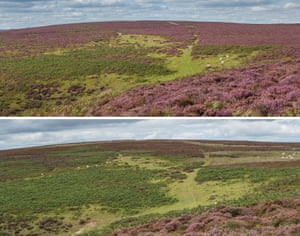 Heather blooms on Long Mynd in Shropshire, England, in August 2015 (top), compared with August this year