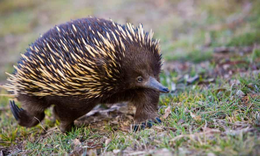 An echidna in NSW