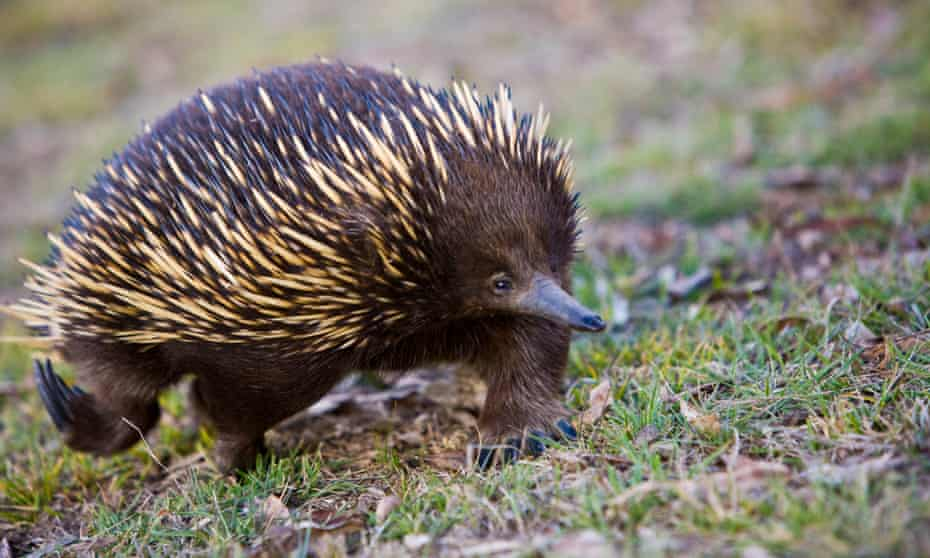 An echidna, or spiny anteater, one of the species threatened with extinction by the fires