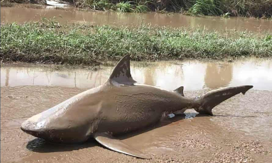 A bull shark that washed up in Ayr