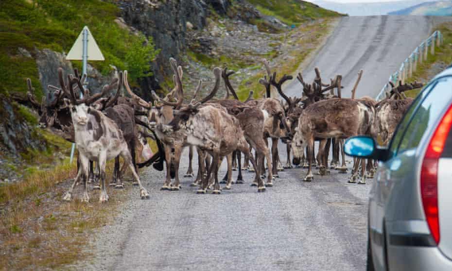 Reindeer blocking the road